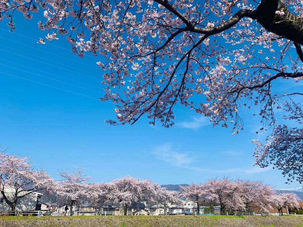 横河川を縁取る桜並木は、川の両岸に連なる