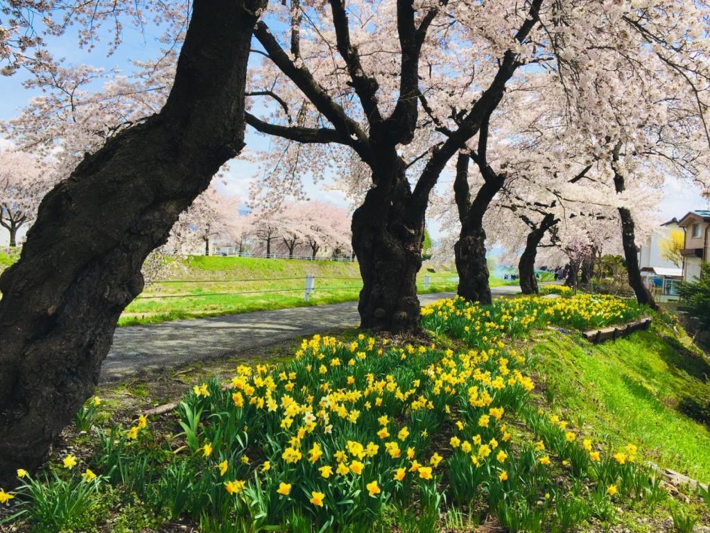 横河川の桜並木は黄水仙との競演も見ごたえがあります