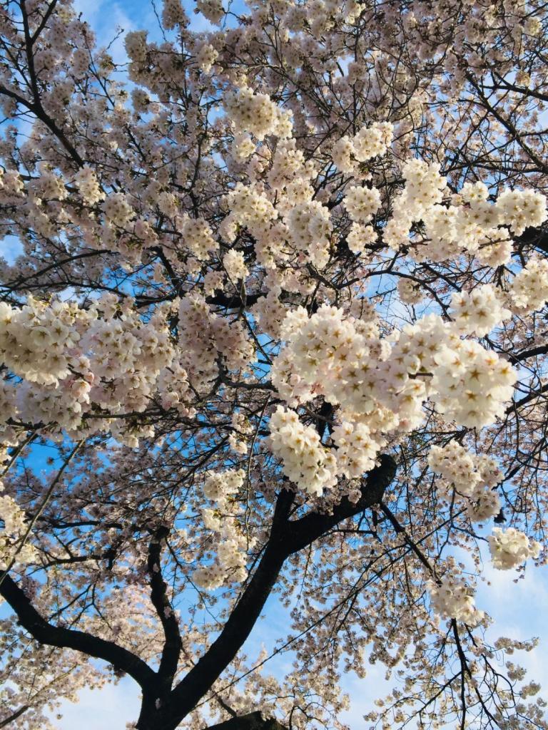 長野県岡谷市 横河川土手に咲くソメイヨシノと青空