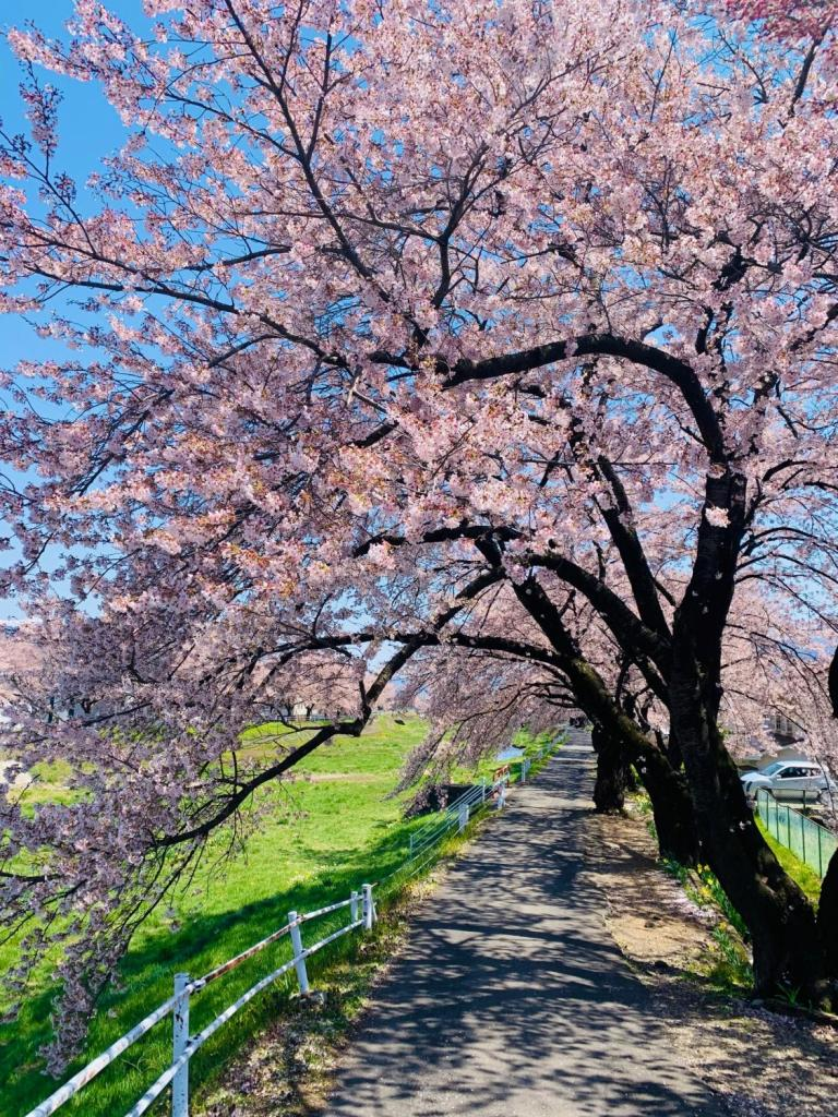 古木から桜の枝が垂れ下がり、薄紅色の花のトンネルに