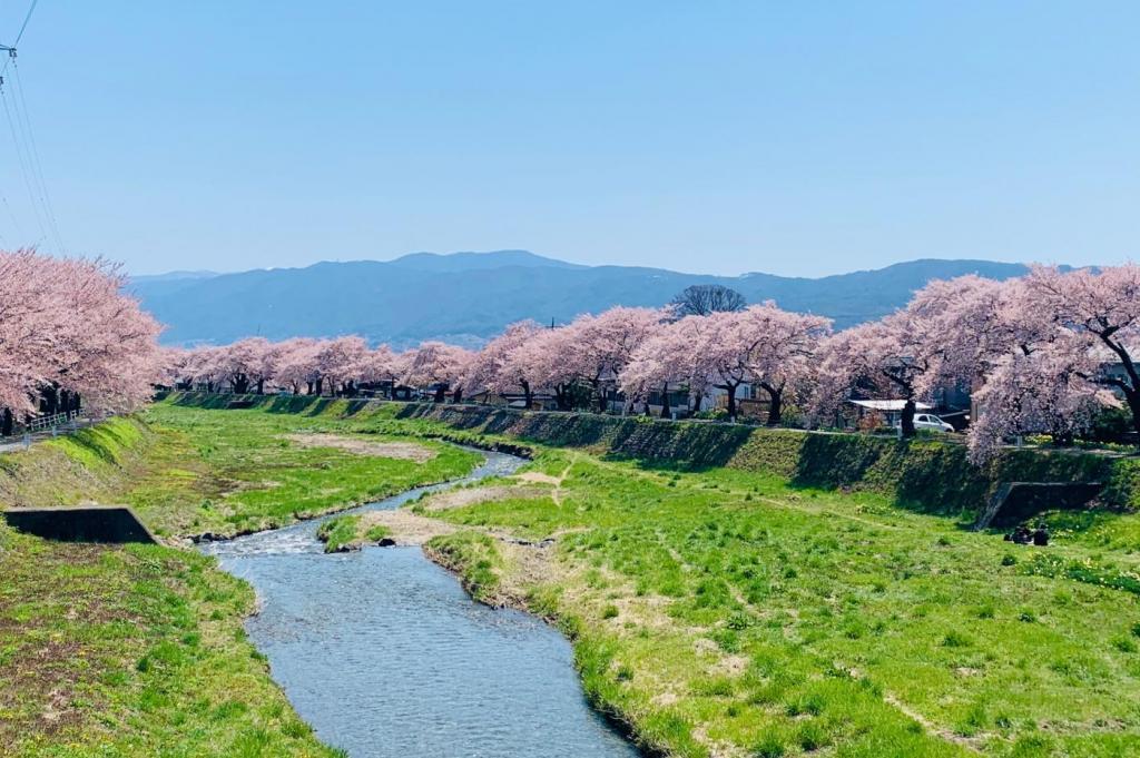 長野県岡谷市の横河川堤防に咲く400本の桜並木