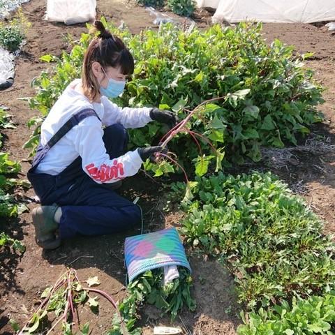 加藤紀子 サラダほうれん草の畑で