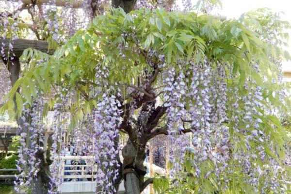 満開の藤の花とスカイツリーのコラボレーション、亀戸天神社へ