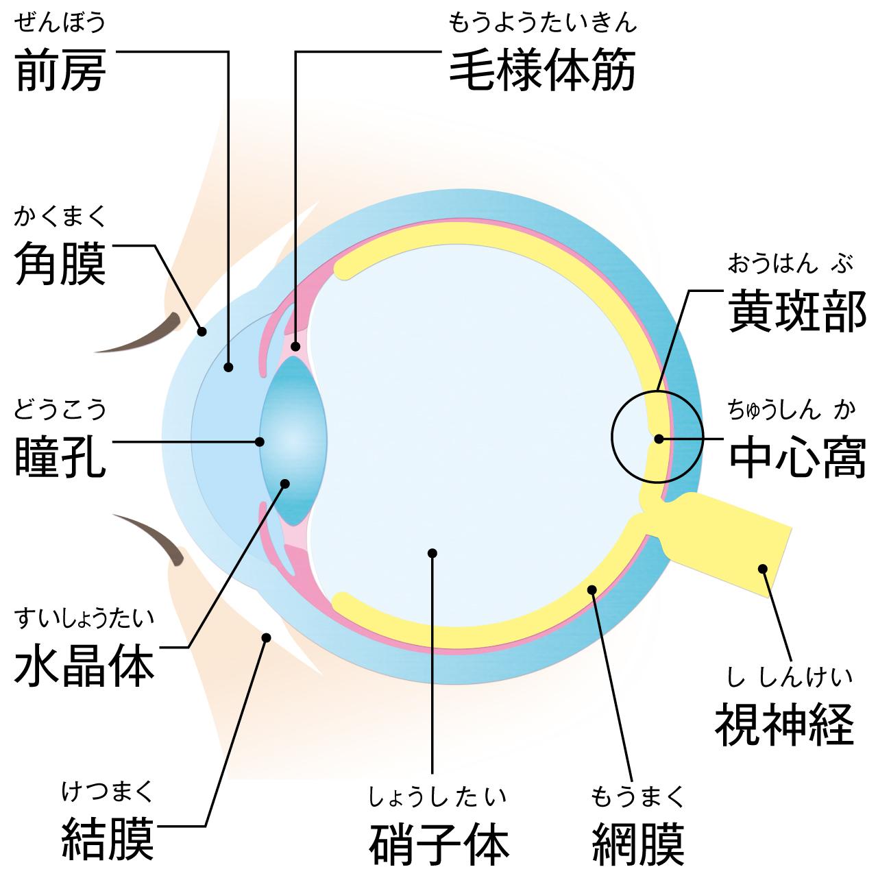 代表的な目の病気に関係する部位
