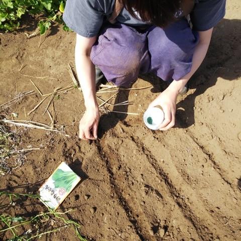 小松菜の種をまく加藤紀子さん