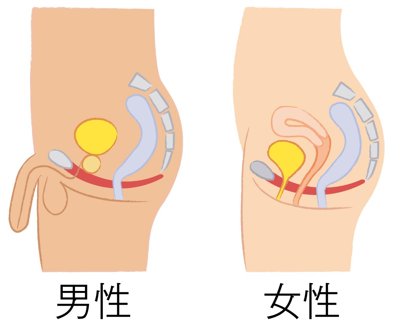 男性と女性の尿道の構造の違い