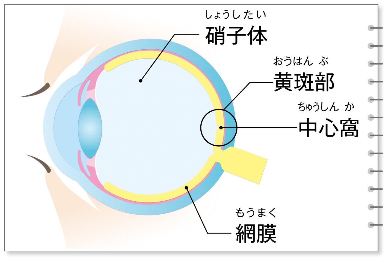 加齢黄斑変性に関係する部位