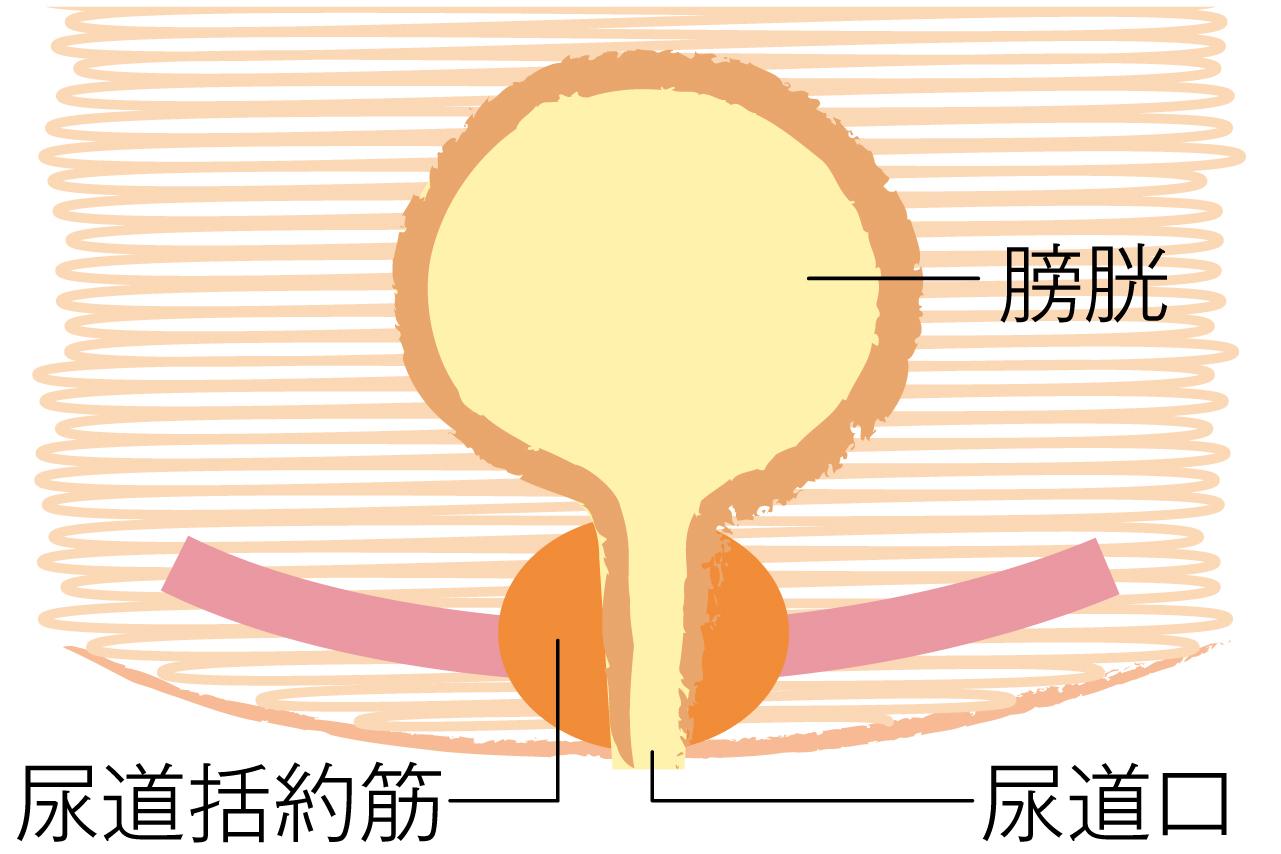 正常な排尿の仕組み