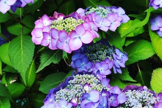 梅雨ダルを吹き飛ばす紫陽花ウォーキング  毎日が開運な編集者の日常㉘