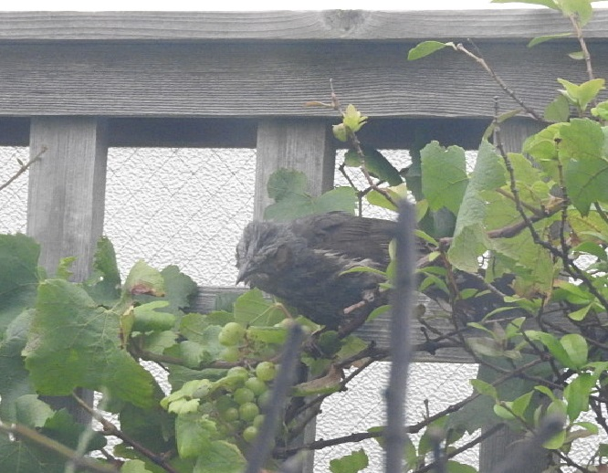 マドレーヌのテラス ブドウ食べるヒヨドリ