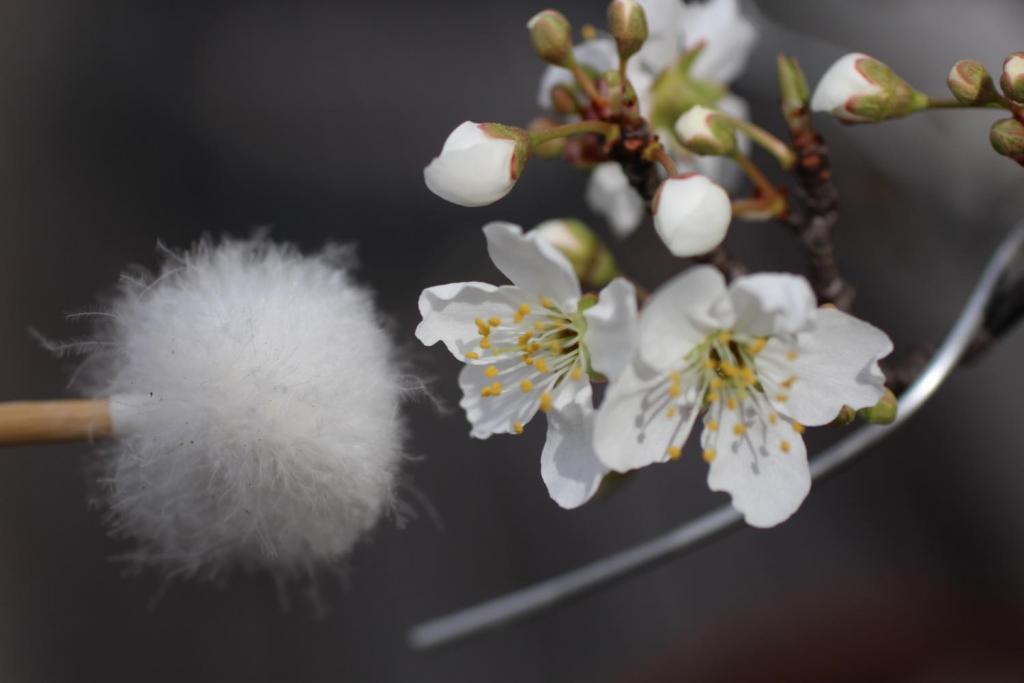 マドレーヌのテラス スモモの花受粉