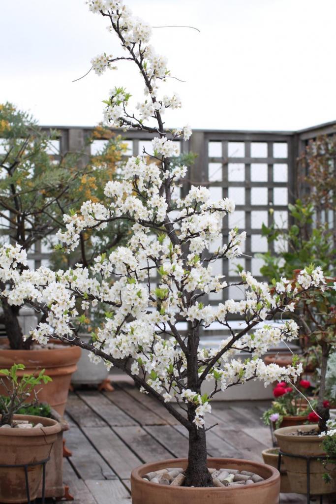 マドレーヌのテラス スモモの花