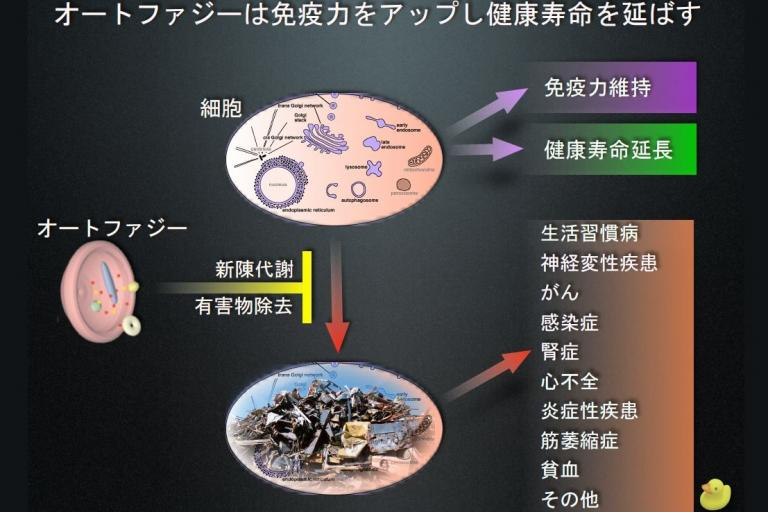 アンチエイジングのカギ「細胞再活性化」を助ける成分「ウロリチン」に注目!